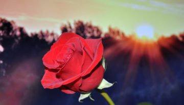 rose-red-flower-37643